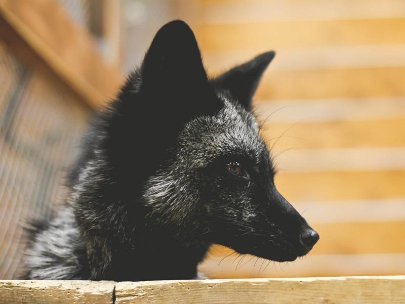 Серебристо-черная канадская лиса Лиска, контактный зоопарк Лесное посольство Уфа