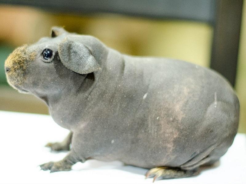Выставка морских свинок контактный зоопарк Лесное посольство Уфа