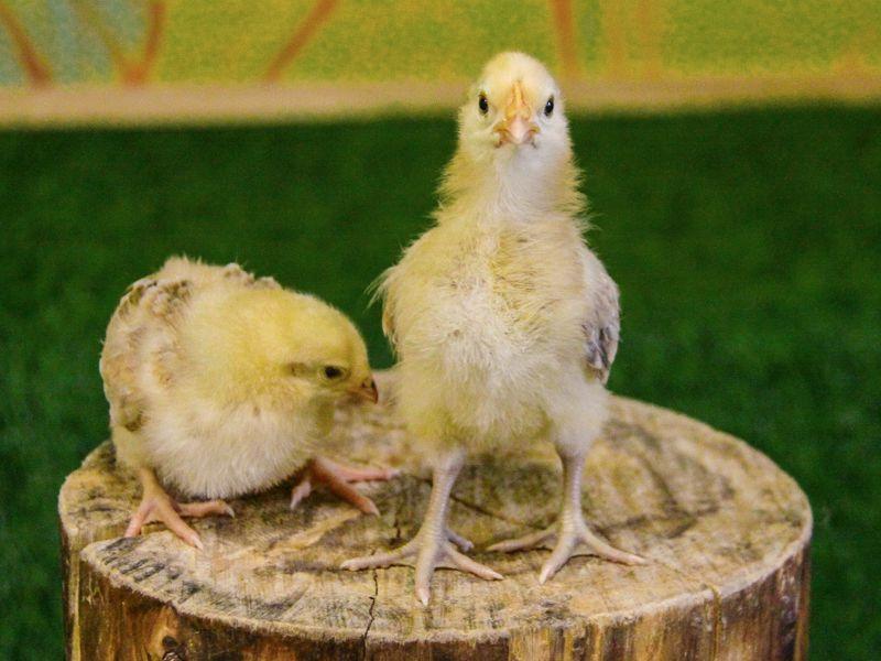 Новые жители Цыплята
