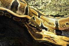 Шаровая змея Питолина (Питоша)